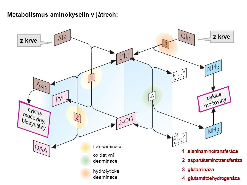 Metabolismus aminokyselin v játrech: z krve transaminace oxidativní deaminace hydrolytická deaminace 1 alaninaminotransferáza 2 aspartátaminotransferá