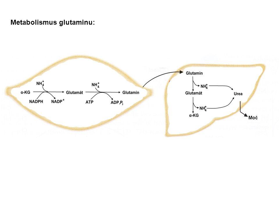 Metabolismus glutaminu: Moč