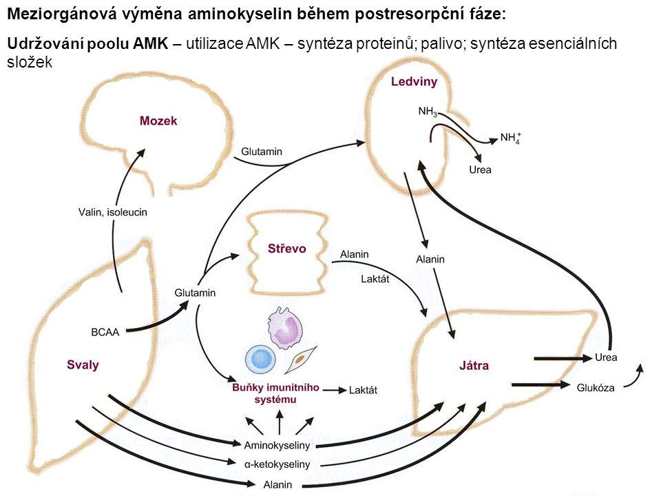 Meziorgánová výměna aminokyselin během postresorpční fáze: Udržování poolu AMK – utilizace AMK – syntéza proteinů; palivo; syntéza esenciálních složek