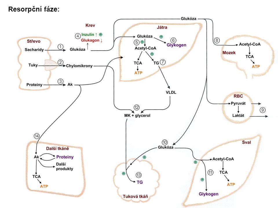 Metabolismus aminokyselin nalačno: