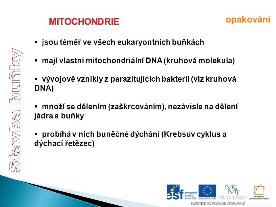 MITOCHONDRIE  jsou téměř ve všech eukaryontních buňkách  mají vlastní mitochondriální DNA (kruhová molekula)  vývojově vznikly z parazitujících bak