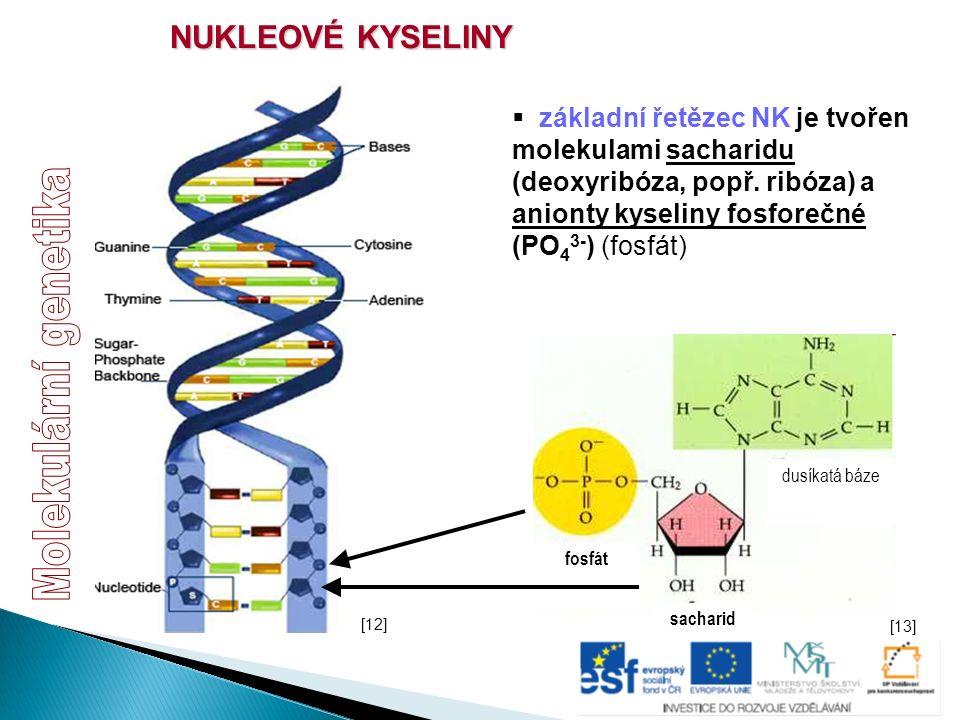 NUKLEOVÉ KYSELINY  základní řetězec NK je tvořen molekulami sacharidu (deoxyribóza, popř. ribóza) a anionty kyseliny fosforečné (PO 4 3- ) (fosfát) s