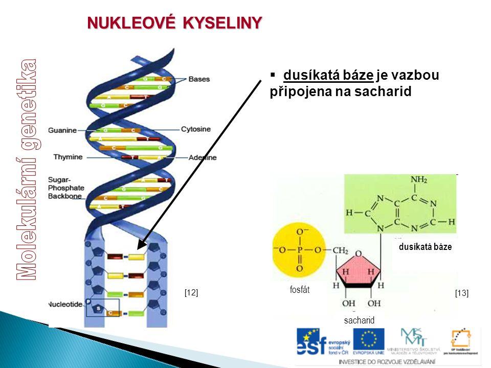 NUKLEOVÉ KYSELINY  dusíkatá báze je vazbou připojena na sacharid sacharid fosfát dusíkatá báze [13] [12]