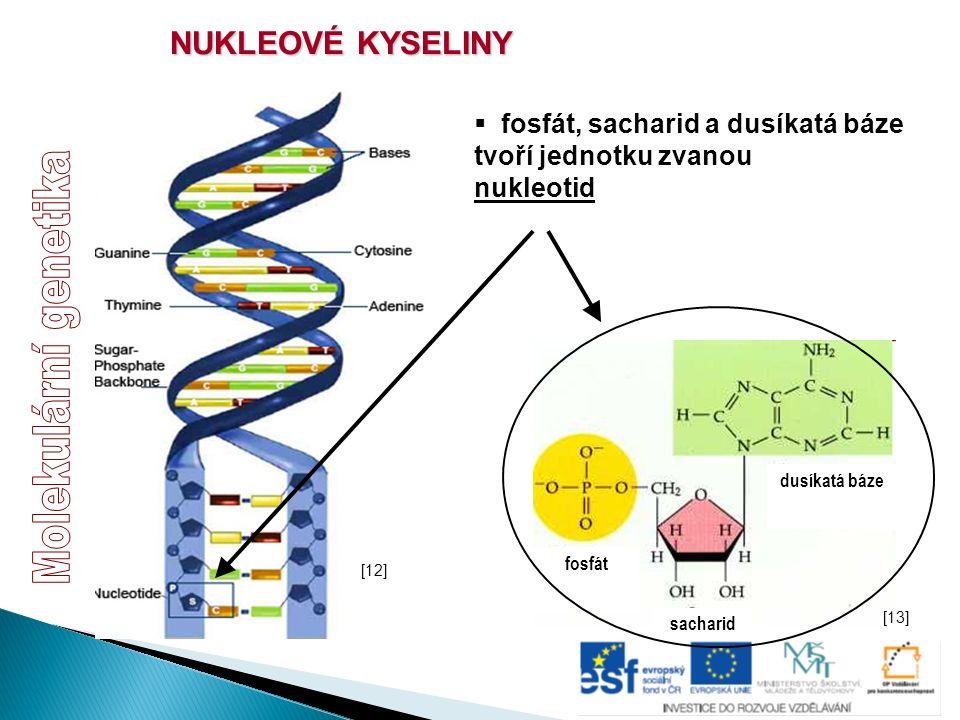 NUKLEOVÉ KYSELINY  fosfát, sacharid a dusíkatá báze tvoří jednotku zvanou nukleotid sacharid fosfát dusíkatá báze [12] [13]