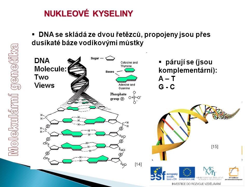 NUKLEOVÉ KYSELINY  DNA se skládá ze dvou řetězců, propojeny jsou přes dusíkaté báze vodíkovými můstky  párují se (jsou komplementární): A – T G - C
