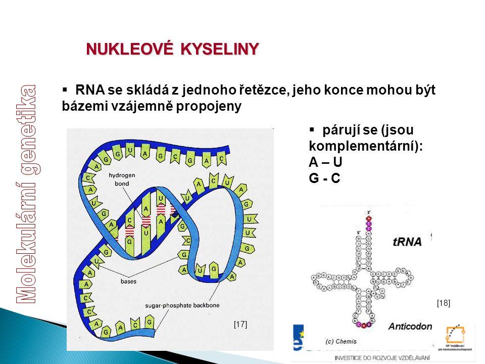 NUKLEOVÉ KYSELINY  RNA se skládá z jednoho řetězce, jeho konce mohou být bázemi vzájemně propojeny  párují se (jsou komplementární): A – U G - C [17