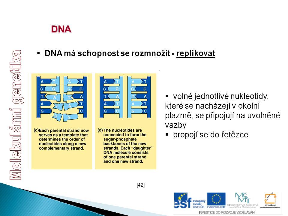DNA  DNA má schopnost se rozmnožit - replikovat  volné jednotlivé nukleotidy, které se nacházejí v okolní plazmě, se připojují na uvolněné vazby  p