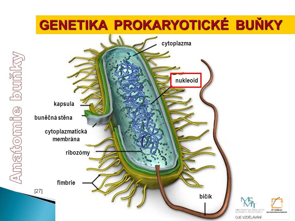 fimbrie kapsula buněčná stěna cytoplazmatická membrána ribozómy nukleoid cytoplazma bičík GENETIKA PROKARYOTICKÉ BUŇKY [27]