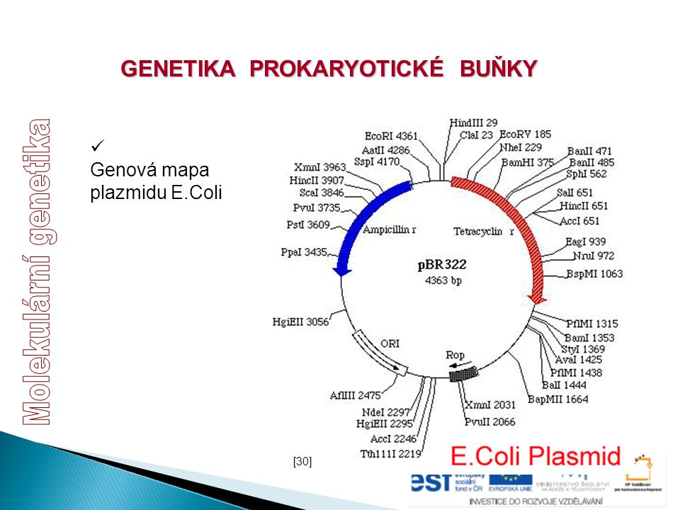 GENETIKA PROKARYOTICKÉ BUŇKY Genová mapa plazmidu E.Coli [30]