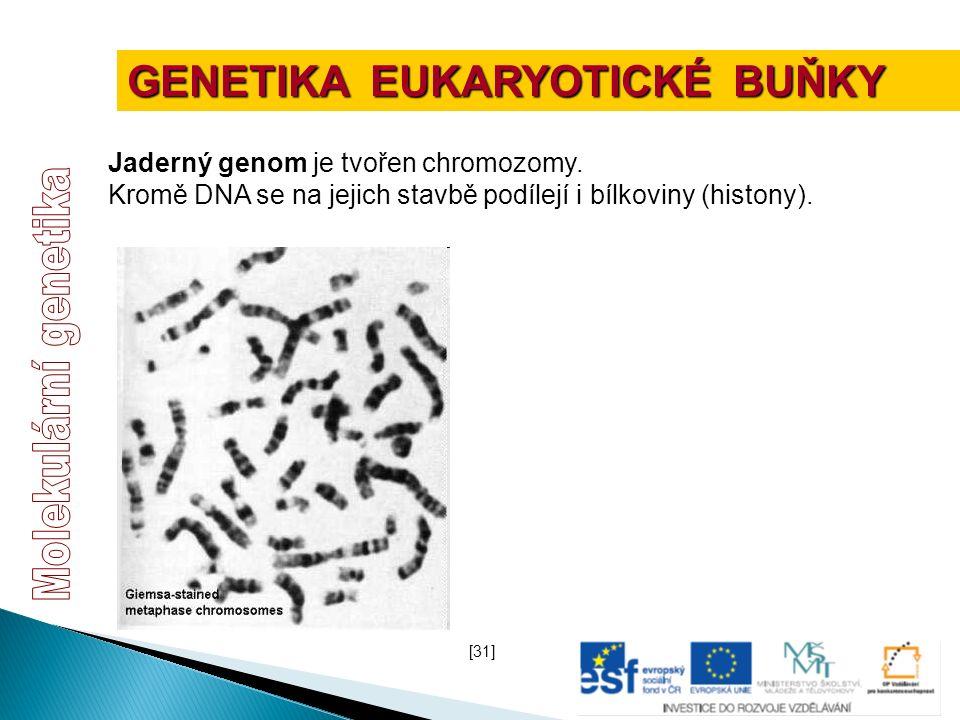 Jaderný genom je tvořen chromozomy. Kromě DNA se na jejich stavbě podílejí i bílkoviny (histony). [31] GENETIKA EUKARYOTICKÉ BUŇKY