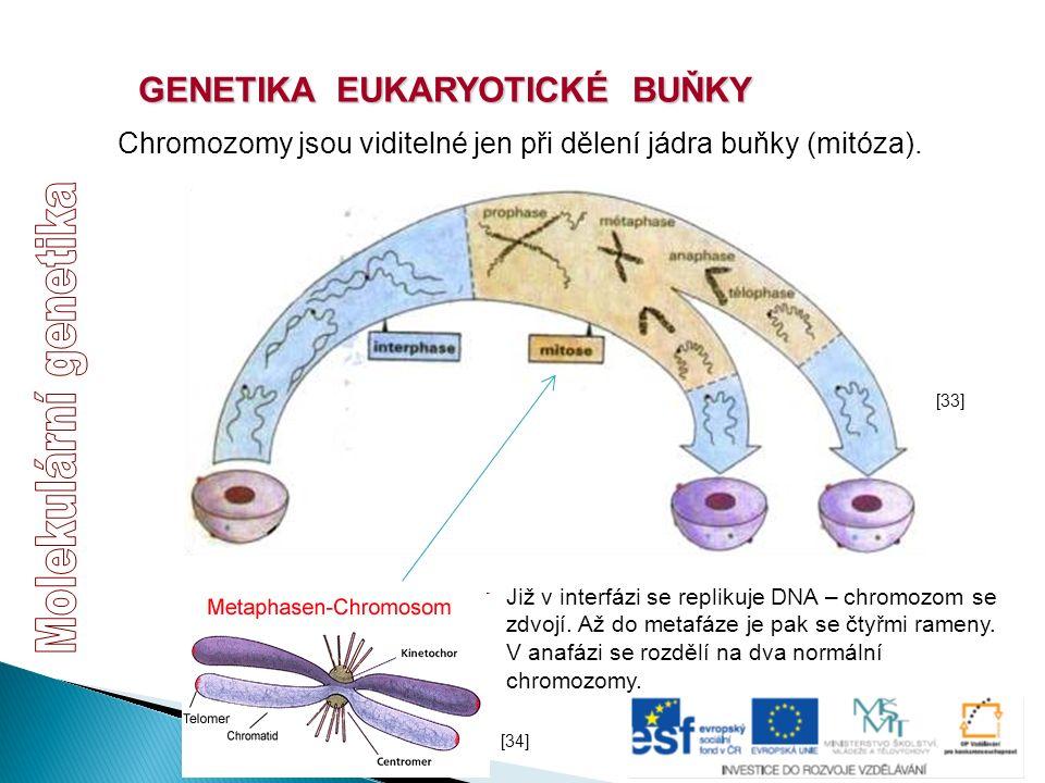 GENETIKA EUKARYOTICKÉ BUŇKY Chromozomy jsou viditelné jen při dělení jádra buňky (mitóza). [33] [34] Již v interfázi se replikuje DNA – chromozom se z