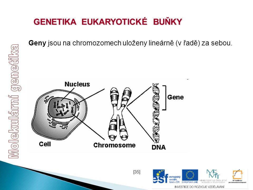 GENETIKA EUKARYOTICKÉ BUŇKY Geny jsou na chromozomech uloženy lineárně (v řadě) za sebou. [35]