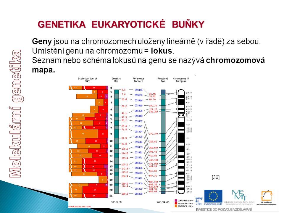 GENETIKA EUKARYOTICKÉ BUŇKY Geny jsou na chromozomech uloženy lineárně (v řadě) za sebou. Umístění genu na chromozomu = lokus. Seznam nebo schéma loku
