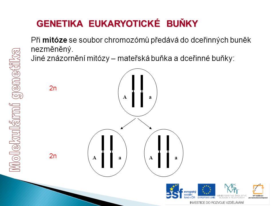 GENETIKA EUKARYOTICKÉ BUŇKY Při mitóze se soubor chromozómů předává do dceřinných buněk nezměněný. Jiné znázornění mitózy – mateřská buňka a dceřinné