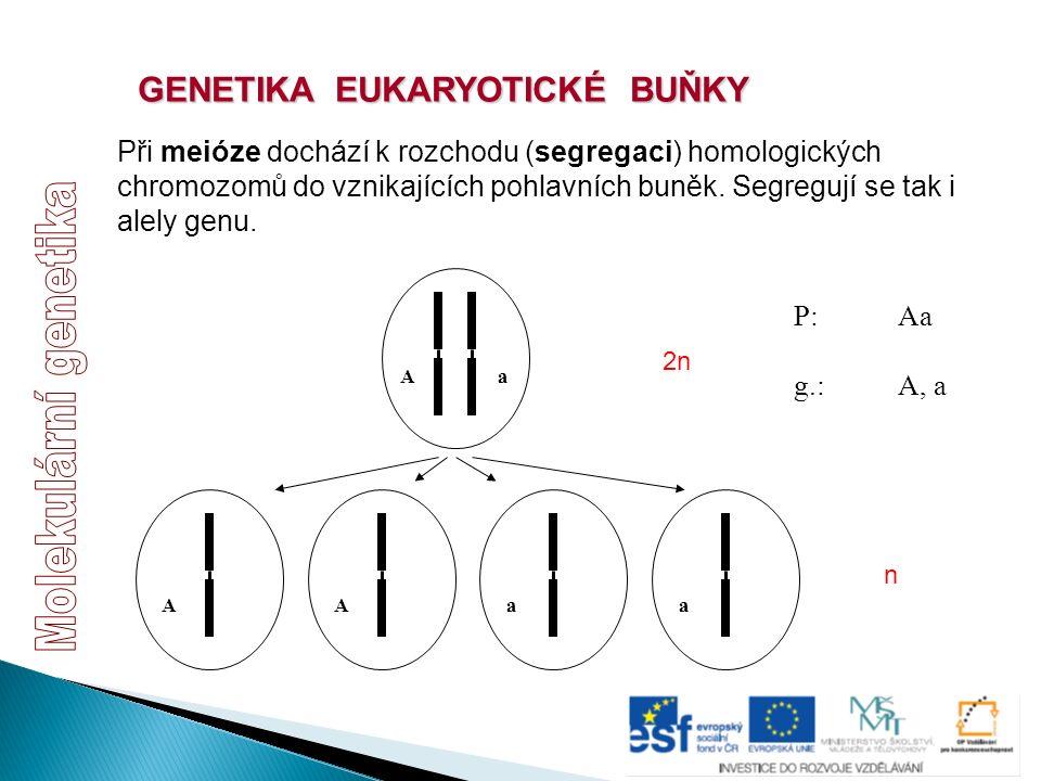 GENETIKA EUKARYOTICKÉ BUŇKY Při meióze dochází k rozchodu (segregaci) homologických chromozomů do vznikajících pohlavních buněk. Segregují se tak i al