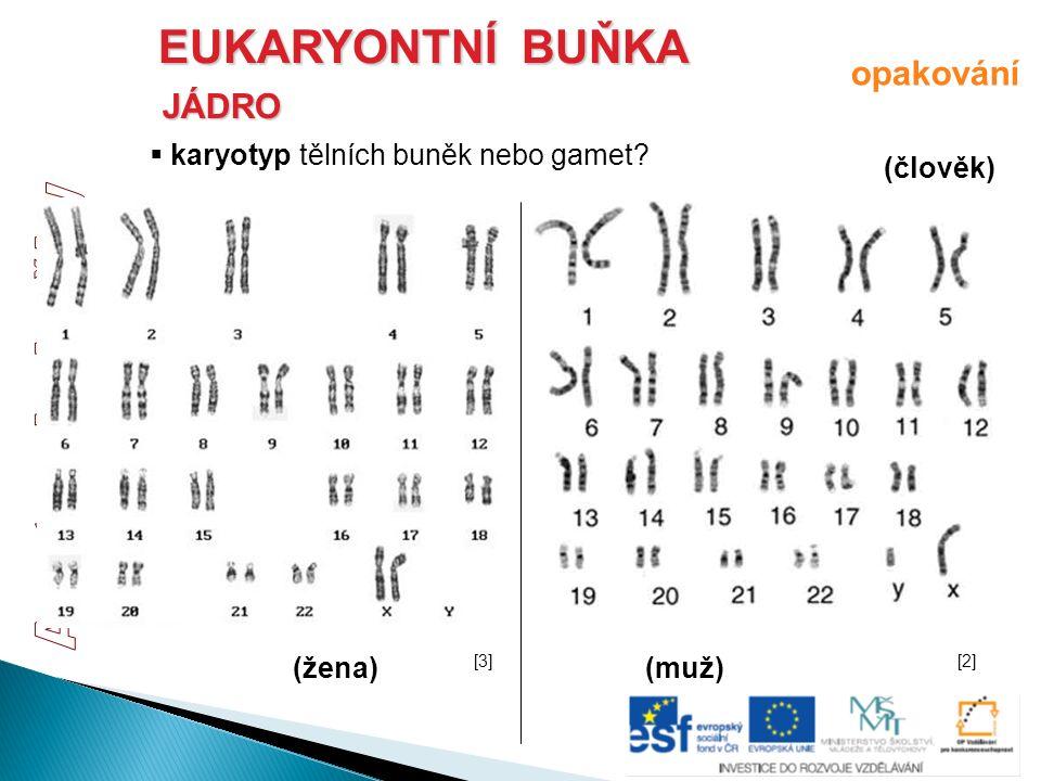EUKARYONTNÍ BUŇKA JÁDRO  karyotyp tělních buněk nebo gamet? (člověk) (muž)(žena) opakování [3][3][2][2]