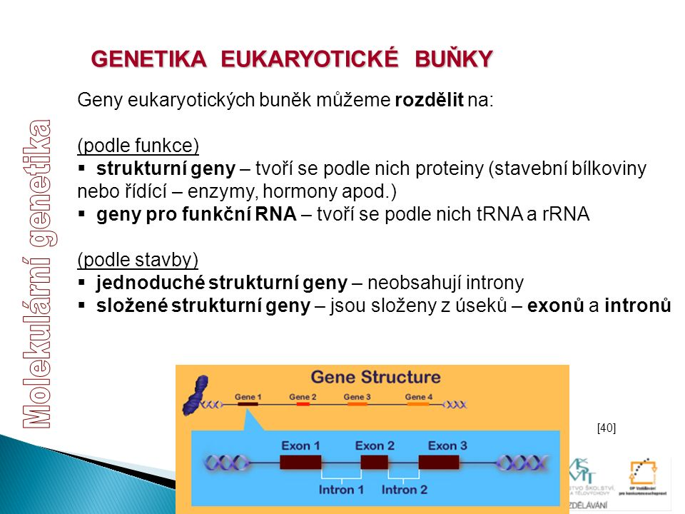 GENETIKA EUKARYOTICKÉ BUŇKY Geny eukaryotických buněk můžeme rozdělit na: (podle funkce)  strukturní geny – tvoří se podle nich proteiny (stavební bí