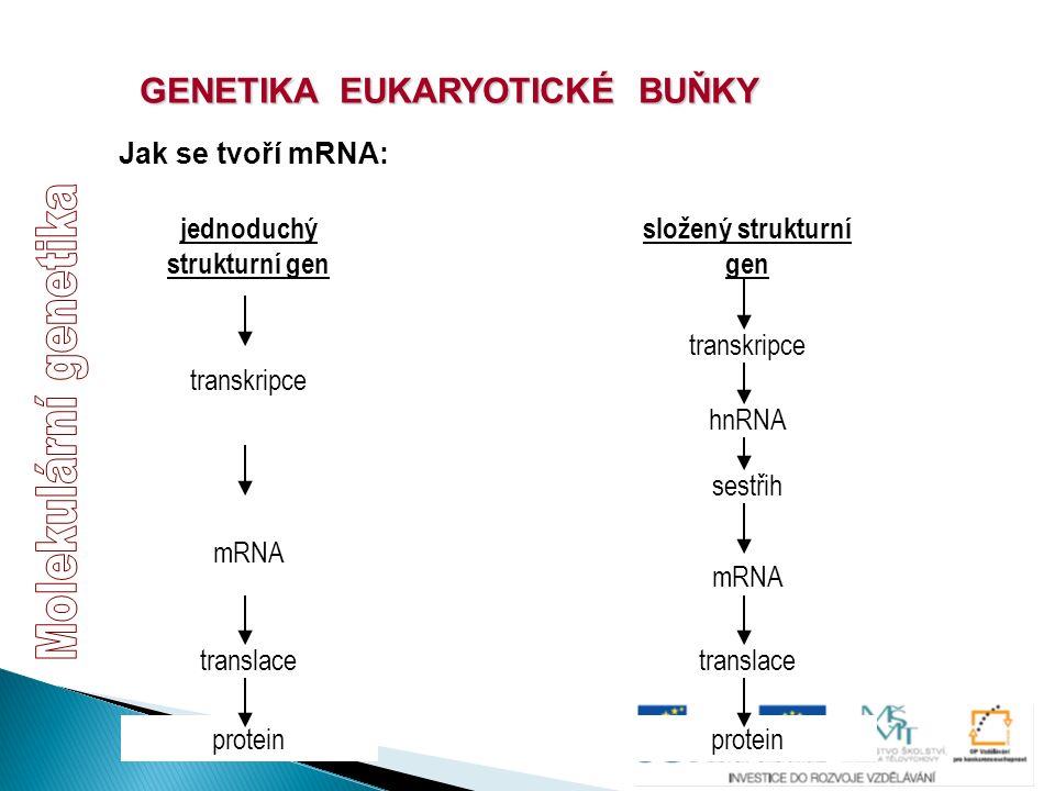 GENETIKA EUKARYOTICKÉ BUŇKY Jak se tvoří mRNA: jednoduchý strukturní gen transkripce mRNA translace protein složený strukturní gen transkripce mRNA tr