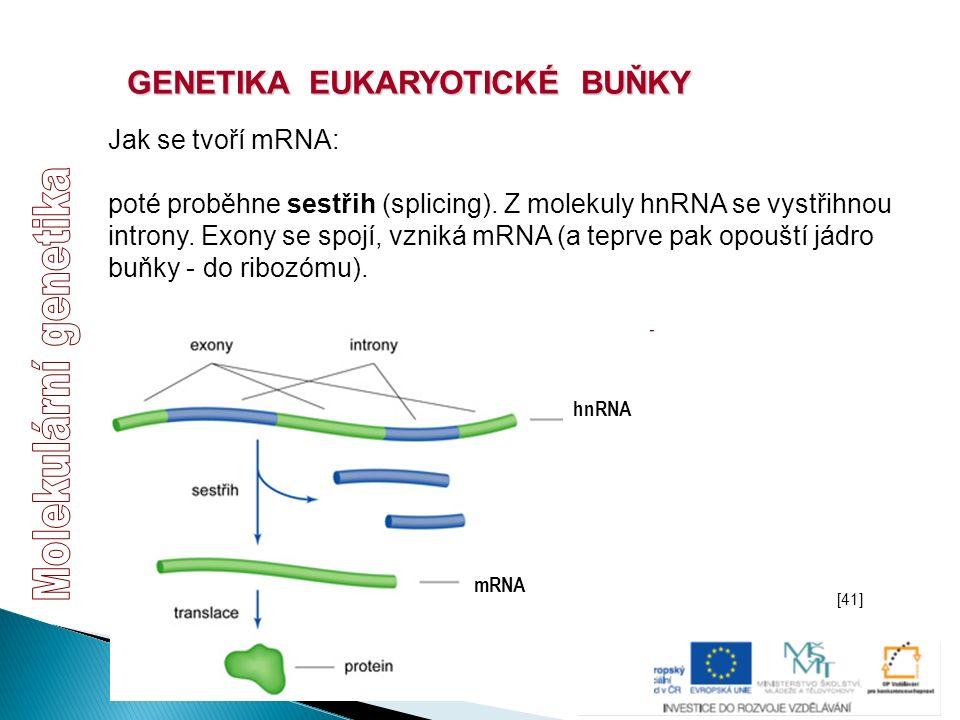 GENETIKA EUKARYOTICKÉ BUŇKY Jak se tvoří mRNA: poté proběhne sestřih (splicing). Z molekuly hnRNA se vystřihnou introny. Exony se spojí, vzniká mRNA (