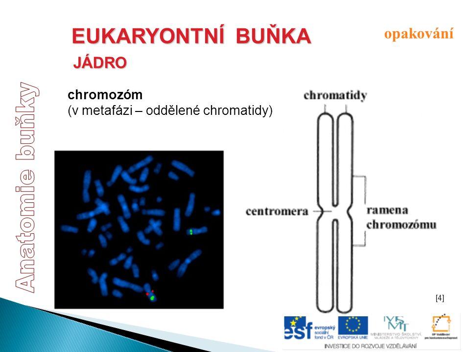 EUKARYONTNÍ BUŇKA JÁDRO chromozóm (v metafázi – oddělené chromatidy) opakování [4][4]