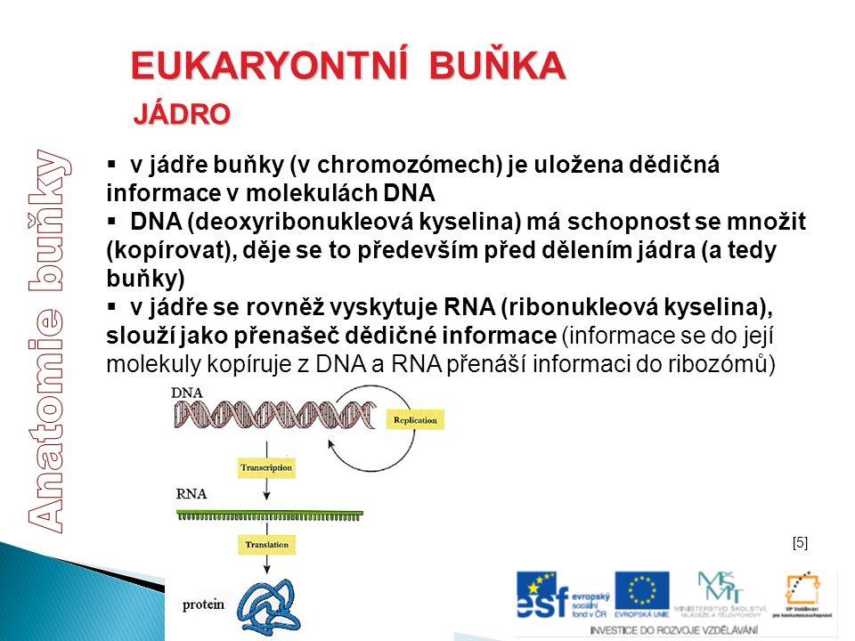 EUKARYONTNÍ BUŇKA JÁDRO  v jádře buňky (v chromozómech) je uložena dědičná informace v molekulách DNA  DNA (deoxyribonukleová kyselina) má schopnost