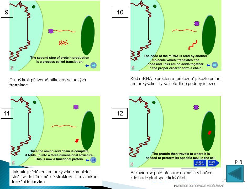 """Druhý krok při tvorbě bílkoviny se nazývá translace. Kód mRNA je přečten a """"přeložen"""" jakožto pořadí aminokyselin – ty se seřadí do podoby řetězce. Ja"""