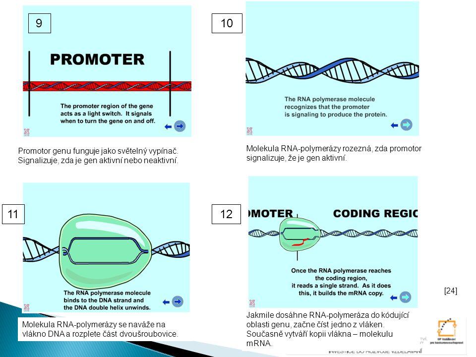 Promotor genu funguje jako světelný vypínač. Signalizuje, zda je gen aktivní nebo neaktivní. Molekula RNA-polymerázy rozezná, zda promotor signalizuje