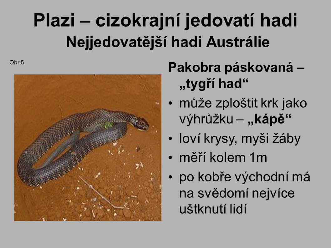 """Plazi – cizokrajní jedovatí hadi Nejjedovatější hadi Austrálie Pakobra páskovaná – """"tygří had může zploštit krk jako výhrůžku – """"kápě loví krysy, myši žáby měří kolem 1m po kobře východní má na svědomí nejvíce uštknutí lidí Obr.5"""