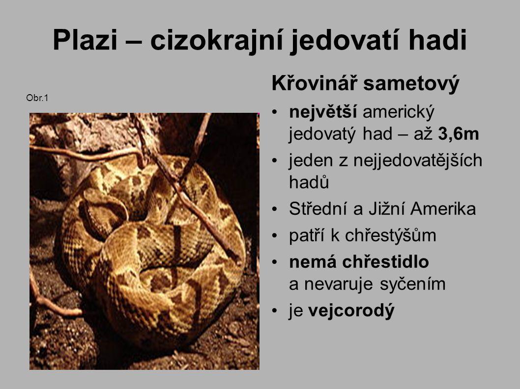 Plazi – cizokrajní jedovatí hadi Křovinář sametový největší americký jedovatý had – až 3,6m jeden z nejjedovatějších hadů Střední a Jižní Amerika patří k chřestýšům nemá chřestidlo a nevaruje syčením je vejcorodý Obr.1