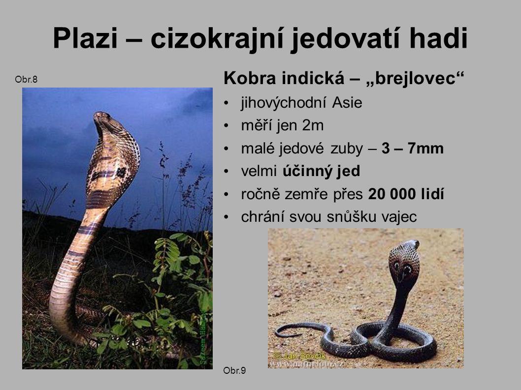 """Plazi – cizokrajní jedovatí hadi Obr.8 Kobra indická – """"brejlovec jihovýchodní Asie měří jen 2m malé jedové zuby – 3 – 7mm velmi účinný jed ročně zemře přes 20 000 lidí chrání svou snůšku vajec Obr.9"""
