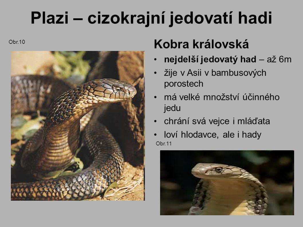 Plazi – cizokrajní jedovatí hadi Kobra královská nejdelší jedovatý had – až 6m žije v Asii v bambusových porostech má velké množství účinného jedu chrání svá vejce i mláďata loví hlodavce, ale i hady Obr.10 Obr.11