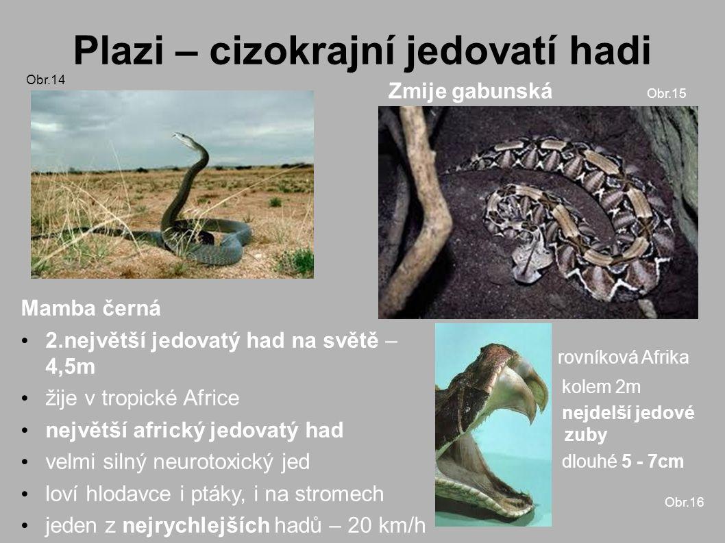 Plazi – cizokrajní jedovatí hadi Obr.14 Zmije gabunská Obr.15 Mamba černá 2.největší jedovatý had na světě – 4,5m žije v tropické Africe největší africký jedovatý had velmi silný neurotoxický jed loví hlodavce i ptáky, i na stromech jeden z nejrychlejších hadů – 20 km/h rovníková Afrika kolem 2m nejdelší jedové zuby dlouhé 5 - 7cm Obr.16