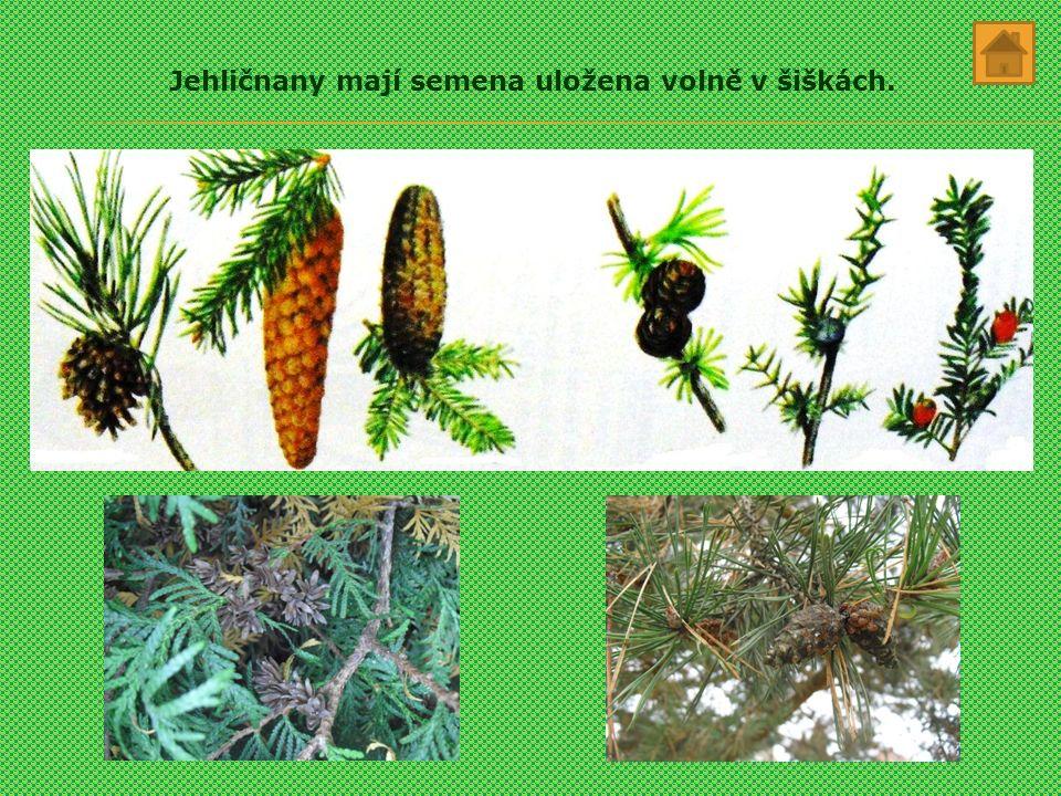Jehličnany mají semena uložena volně v šiškách.