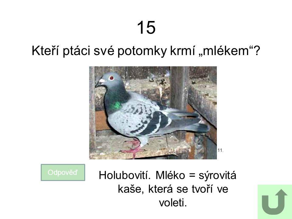"""15 Kteří ptáci své potomky krmí """"mlékem""""? Odpověď Holubovití. Mléko = sýrovitá kaše, která se tvoří ve voleti. 11."""