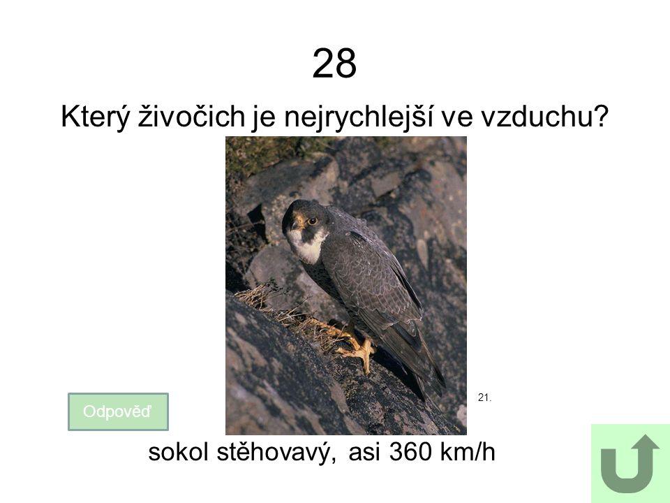 28 Který živočich je nejrychlejší ve vzduchu? Odpověď sokol stěhovavý, asi 360 km/h 21.