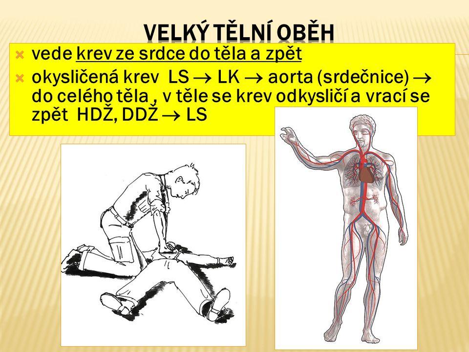  vede krev ze srdce do těla a zpět  okysličená krev LS  LK  aorta (srdečnice)  do celého těla, v těle se krev odkysličí a vrací se zpět HDŽ, DDŽ  LS