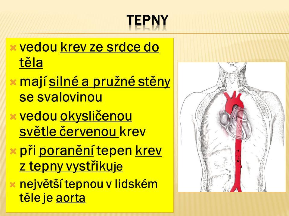  vedou krev ze srdce do těla  mají silné a pružné stěny se svalovinou  vedou okysličenou světle červenou krev  při poranění tepen krev z tepny vystřiku je  největší tepnou v lidském těle je aorta