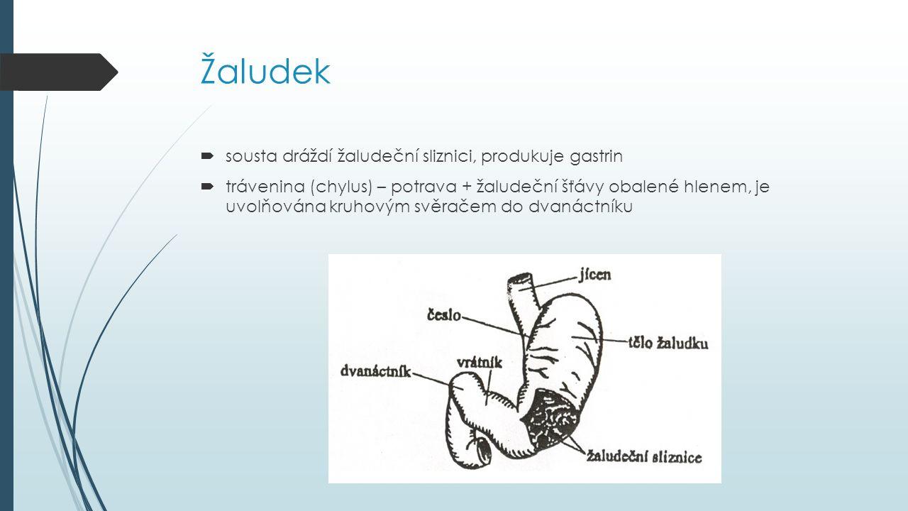 Žaludek  sousta dráždí žaludeční sliznici, produkuje gastrin  trávenina (chylus) – potrava + žaludeční šťávy obalené hlenem, je uvolňována kruhovým svěračem do dvanáctníku