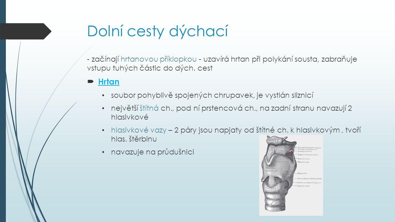Dolní cesty dýchací  Průdušnice (trachea) připojena vazivem na prstencovou chrupavku dlouhá 10 -12 cm, složena z 16 až 20 chrupavek spojených vazivem vystlaná sliznicí a krytá řasinkovým epitelem na konci se větví na pravou a levou průdušku  Průdušky chrupavčité, zanořují se do plic a větví se na průdušinky sliznice průdušek obsahuje hlenové žlázy, kryta řasinkovým epitelem k vychytávání nečistot a posouvání hlenu (u kuřáků snížená citlivost, mechanické zanesení způsobuje kýchnutí)
