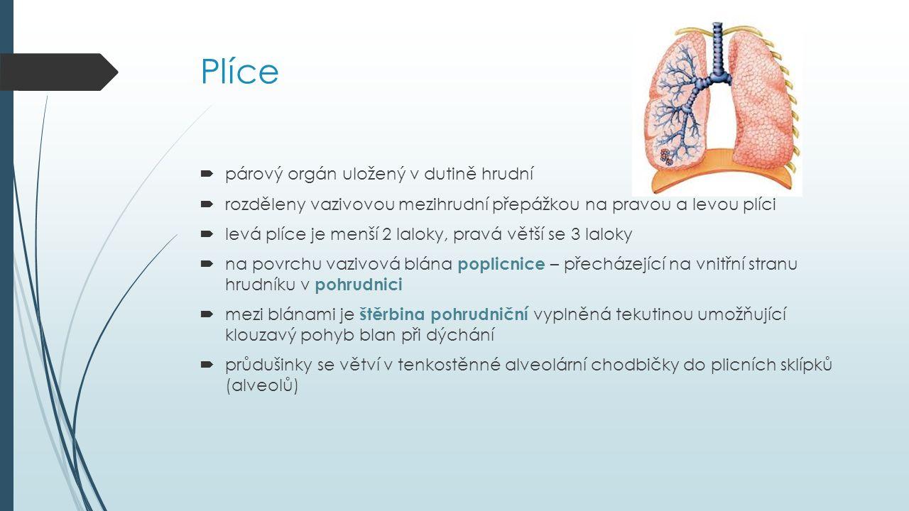 Plíce  párový orgán uložený v dutině hrudní  rozděleny vazivovou mezihrudní přepážkou na pravou a levou plíci  levá plíce je menší 2 laloky, pravá větší se 3 laloky  na povrchu vazivová blána poplicnice – přecházející na vnitřní stranu hrudníku v pohrudnici  mezi blánami je štěrbina pohrudniční vyplněná tekutinou umožňující klouzavý pohyb blan při dýchání  průdušinky se větví v tenkostěnné alveolární chodbičky do plicních sklípků (alveolů)
