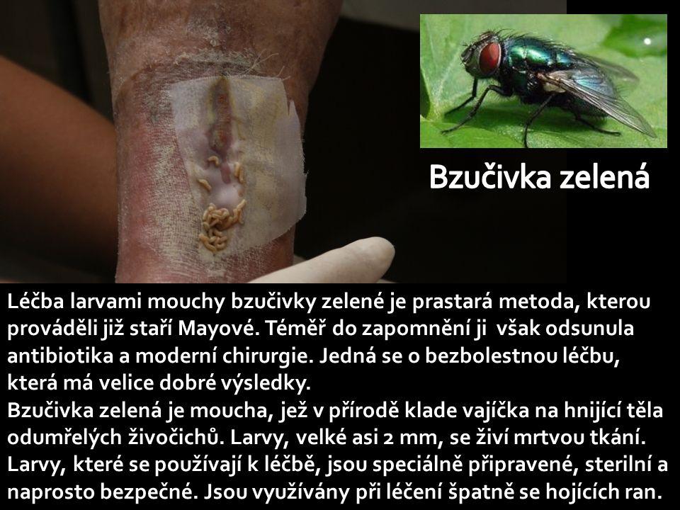 Léčba larvami mouchy bzučivky zelené je prastará metoda, kterou prováděli již staří Mayové.