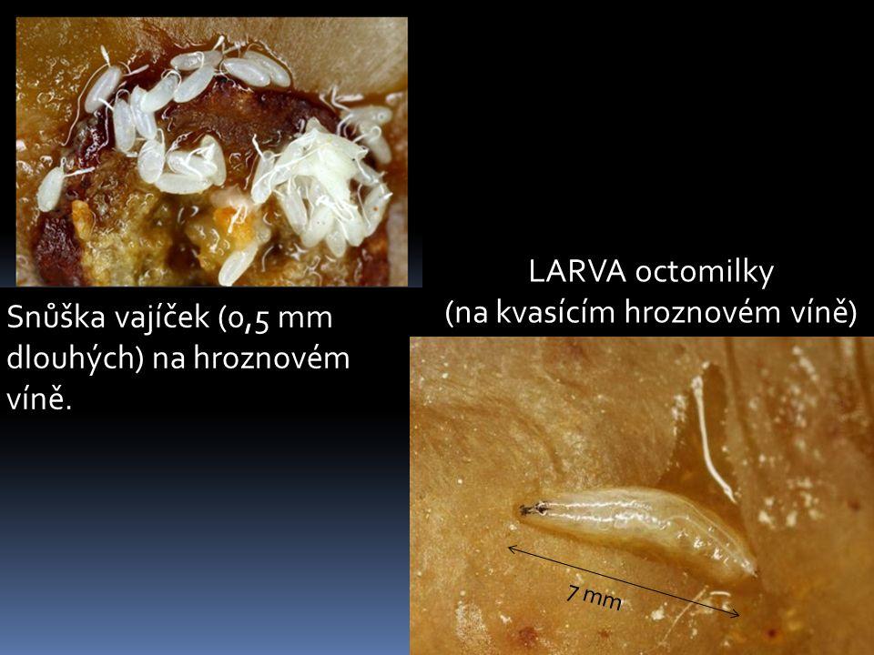 Snůška vajíček (0,5 mm dlouhých) na hroznovém víně. 7 mm LARVA octomilky (na kvasícím hroznovém víně)