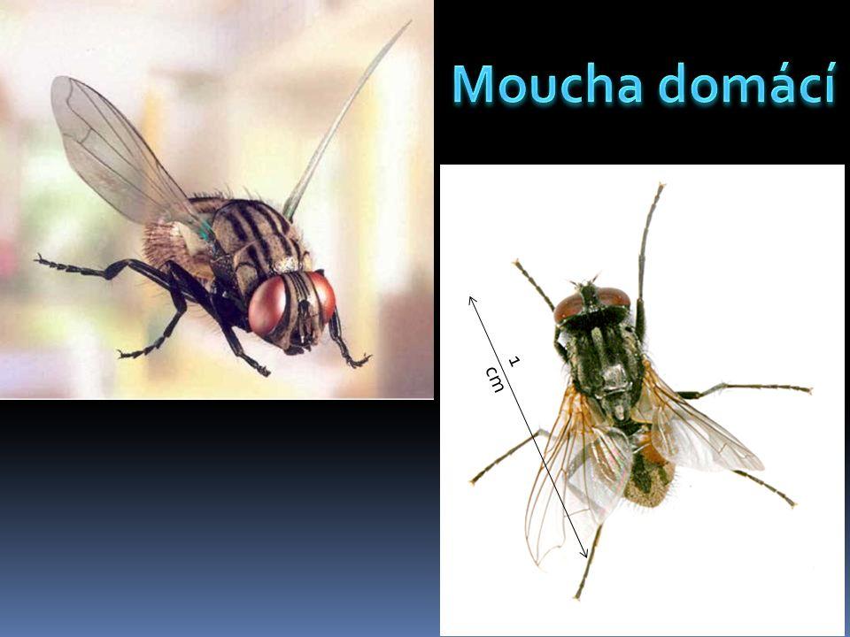 Moucha domácí je nejčastější druh dvoukřídlého hmyzu vyskytující se v domácnostech.