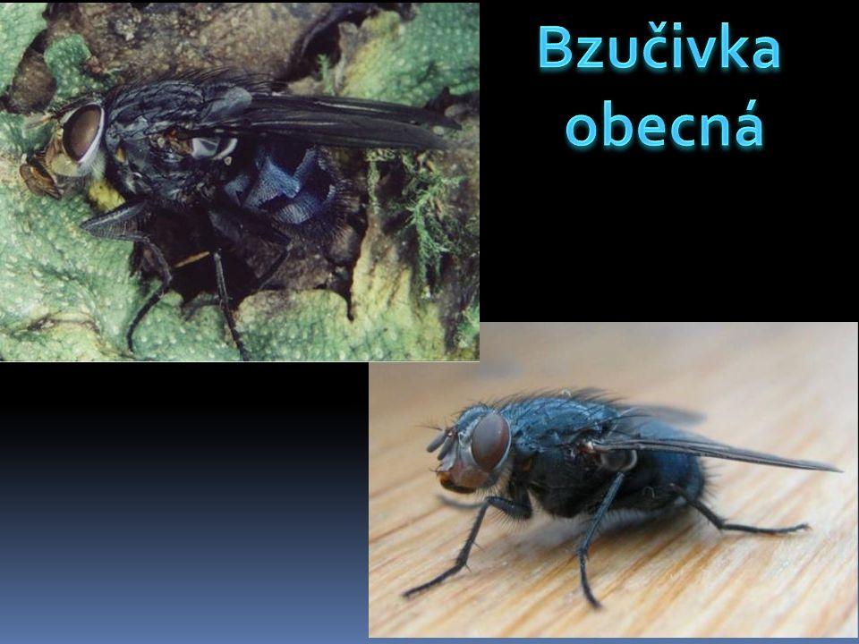 Bzučivky obecné jsou velké rozšířené mouchy.