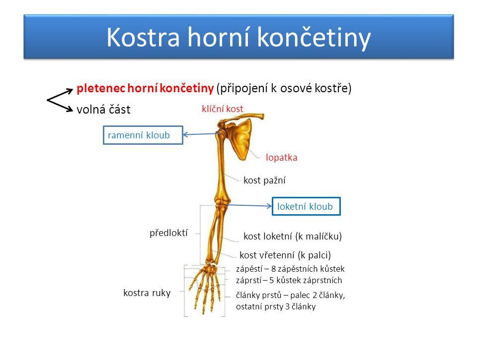 Kostra dolní končetiny pletenec dolní končetiny (připojení k osové kostře) volná část kost pánevní srostlá z kostí kyčelní, sedací a stydké kost stehenní bérec kost lýtková (vnější kotník) kost holenní (vnitřní kotník) kostra nohy zánártí – 7 kůstek nárt – 5 kůstek články prstů kyčelní kloub kolenní kloub - čéška Na noze se kosti nártní a zánártní mírně zvedají a tvoří za pomoci vazů podélnou a příčnou nožní klenbu.