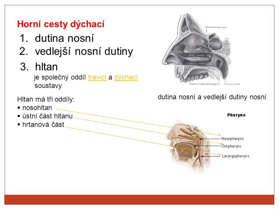 Horní cesty dýchací 1.dutina nosní 2.vedlejší nosní dutiny dutina nosní a vedlejší dutiny nosní 3. hltan je společný oddíl trávicí a dýchací soustavy