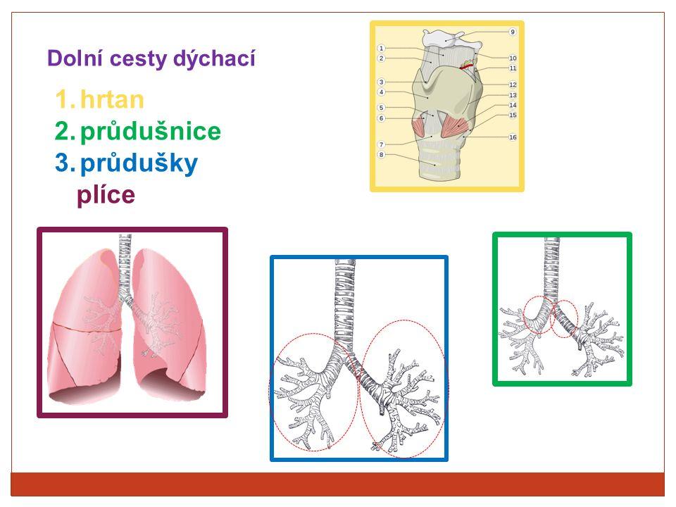 Dolní cesty dýchací 1.hrtan 2.průdušnice 3.průdušky plíce