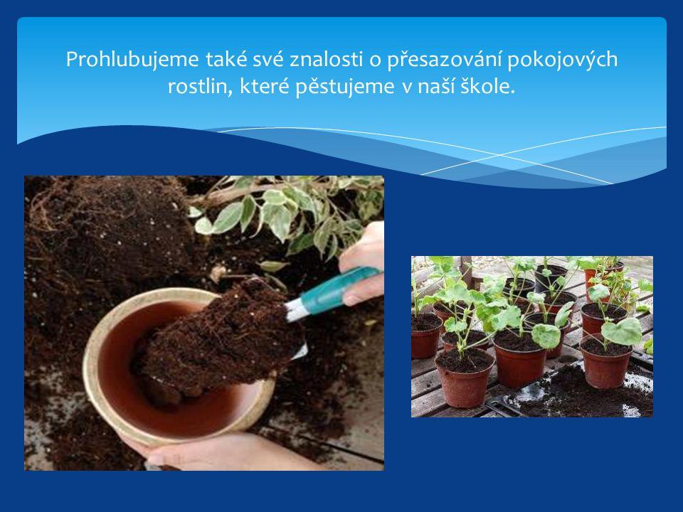 Prohlubujeme také své znalosti o přesazování pokojových rostlin, které pěstujeme v naší škole.