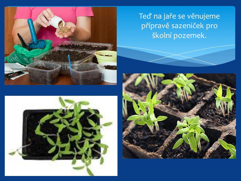 Teď na jaře se věnujeme přípravě sazeniček pro školní pozemek.
