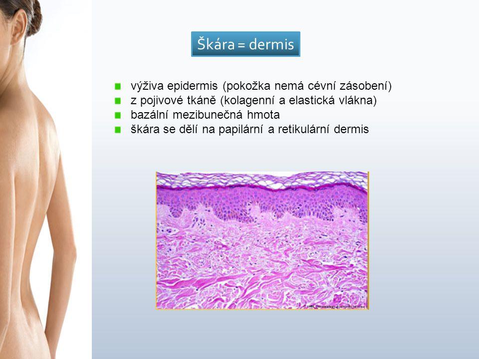 výživa epidermis (pokožka nemá cévní zásobení) z pojivové tkáně (kolagenní a elastická vlákna) bazální mezibunečná hmota škára se dělí na papilární a retikulární dermis